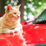 車のボンネットの上に猫が!傷をつけられない対策とは?